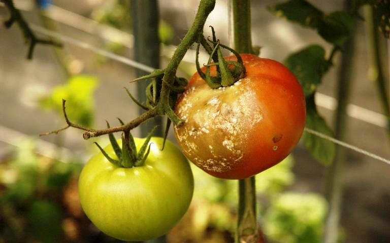Cu ce putem combate bolile la legume si vita de vie?